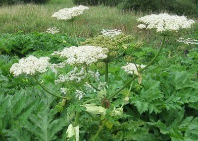 unicarback - udzba zelene - invazna rastlina Boľševník obrovský