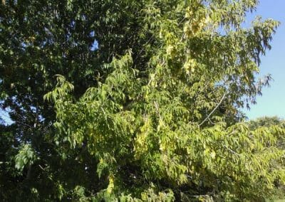 unicarback - udzba zelene - invazna rastlina Javorovec