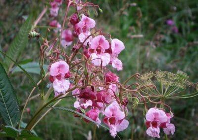 unicarback - udzba zelene - invazna rastlina Netýkavka žliazkatá