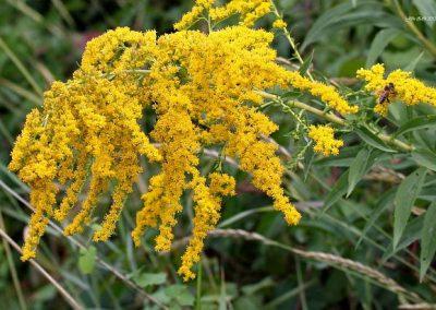 unicarback - udzba zelene - invazna rastlina Zlatobyľ kanadská