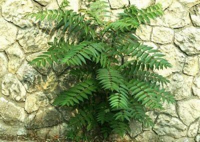 unicarback - udzba zelene - invazna rastlina pajaseň
