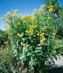 unicarback - udzba zelene - invazna rastlina topinambur slnečnica hľuznatá